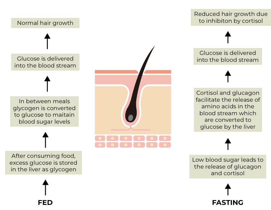 Functions of the liver blood glucose