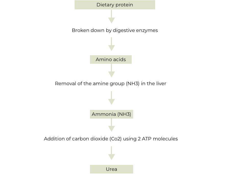 The formation of urea in the body