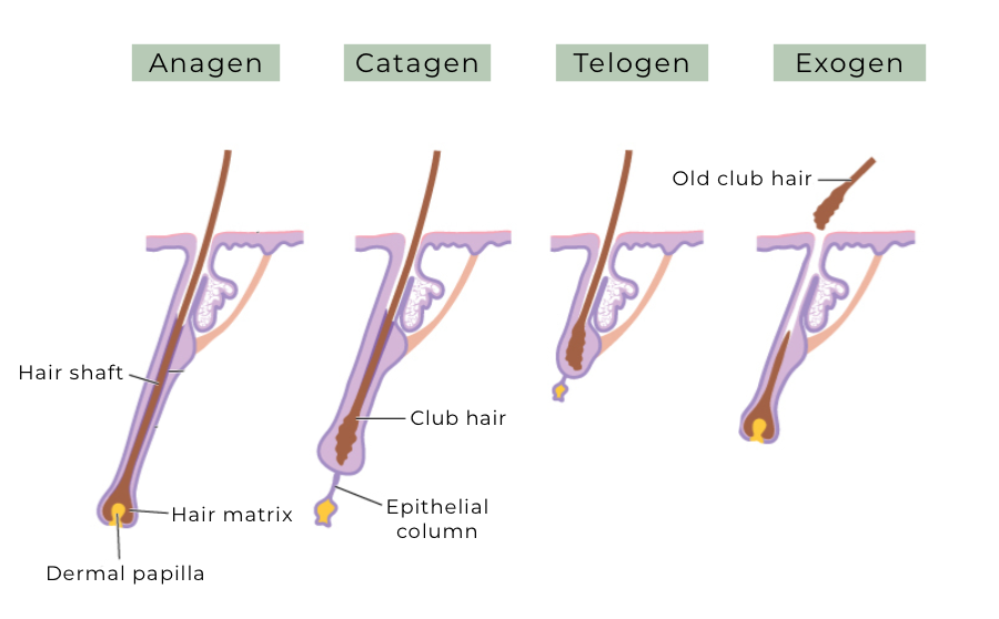 Hair cycle; growth and regression of the hair follicle