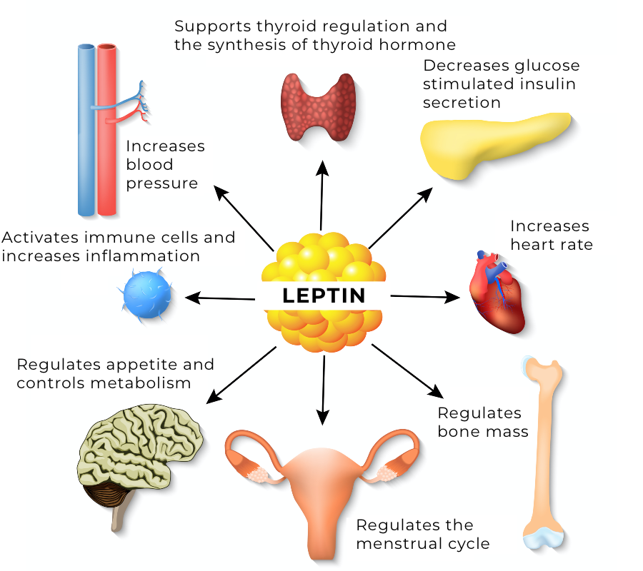 Leptin, inflammation and hair loss