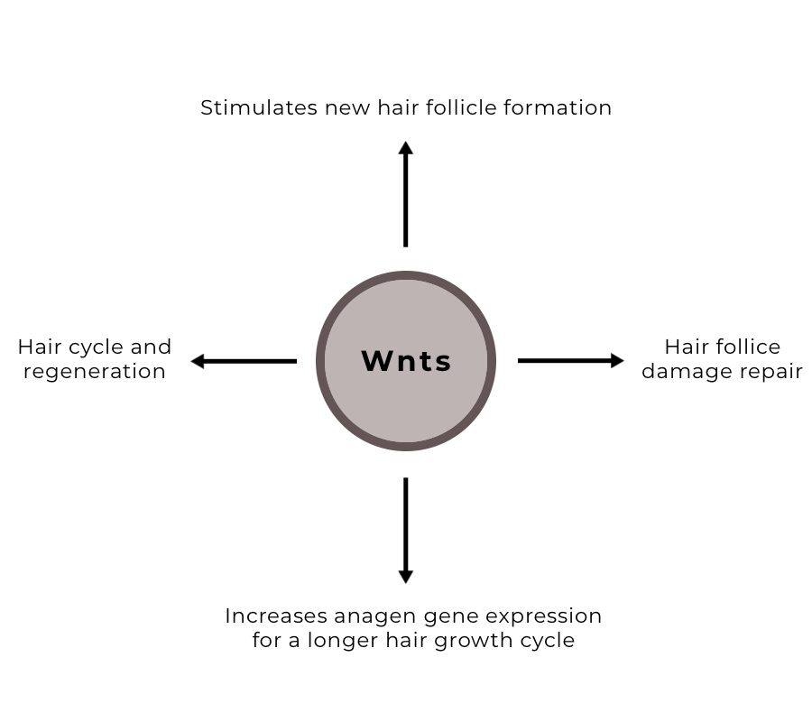 Wnts are signalling proteins